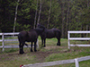Thumbnail of Natalie's Percheron work horses
