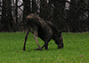 Thumbnail of Moose down on it's knees grazing springtime grass