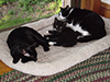 Thumbnail of Kitten napping with the older cats